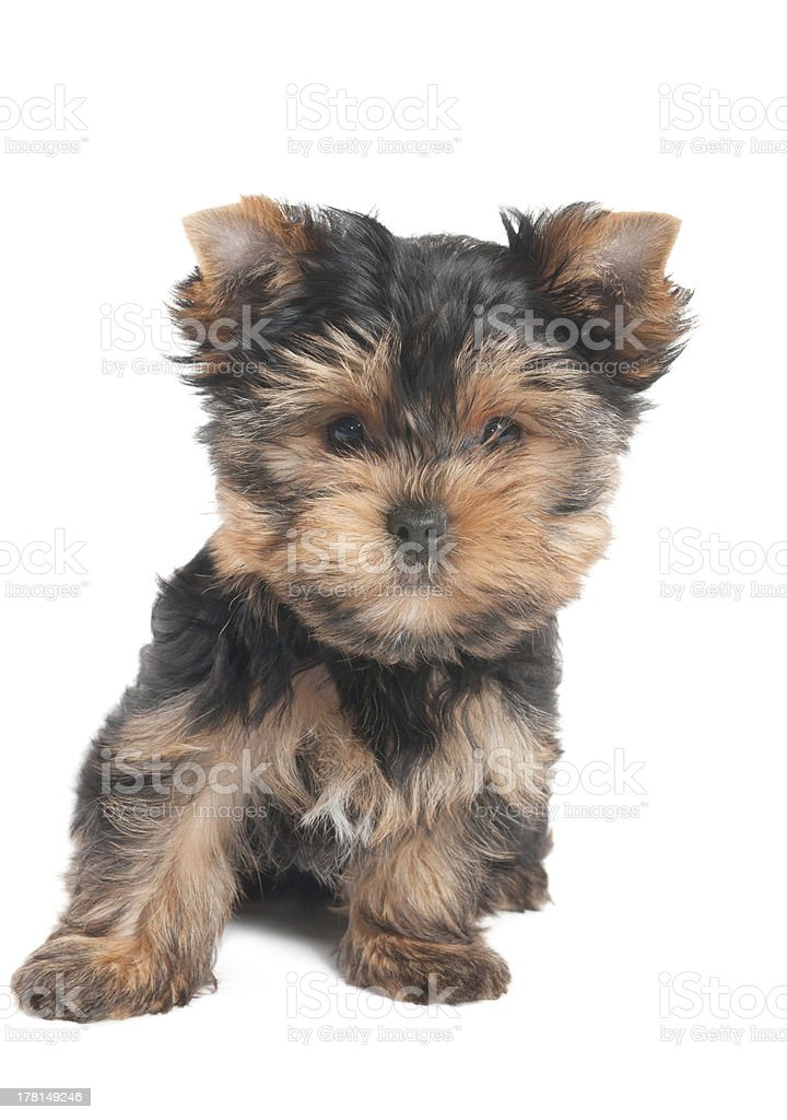 Amazing puppy royalty-free stock photo