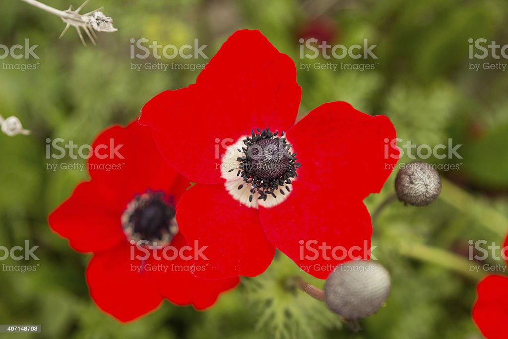 Amazing red anemones on a field royalty-free stock photo