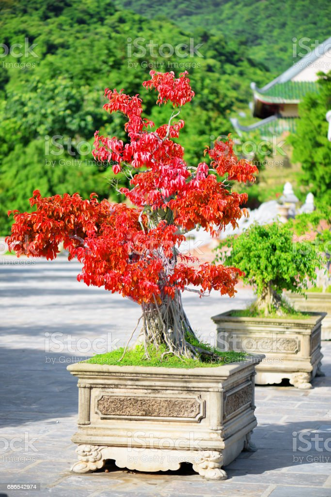Amazing red Bonsai tree growing in pot outdoors foto stock royalty-free