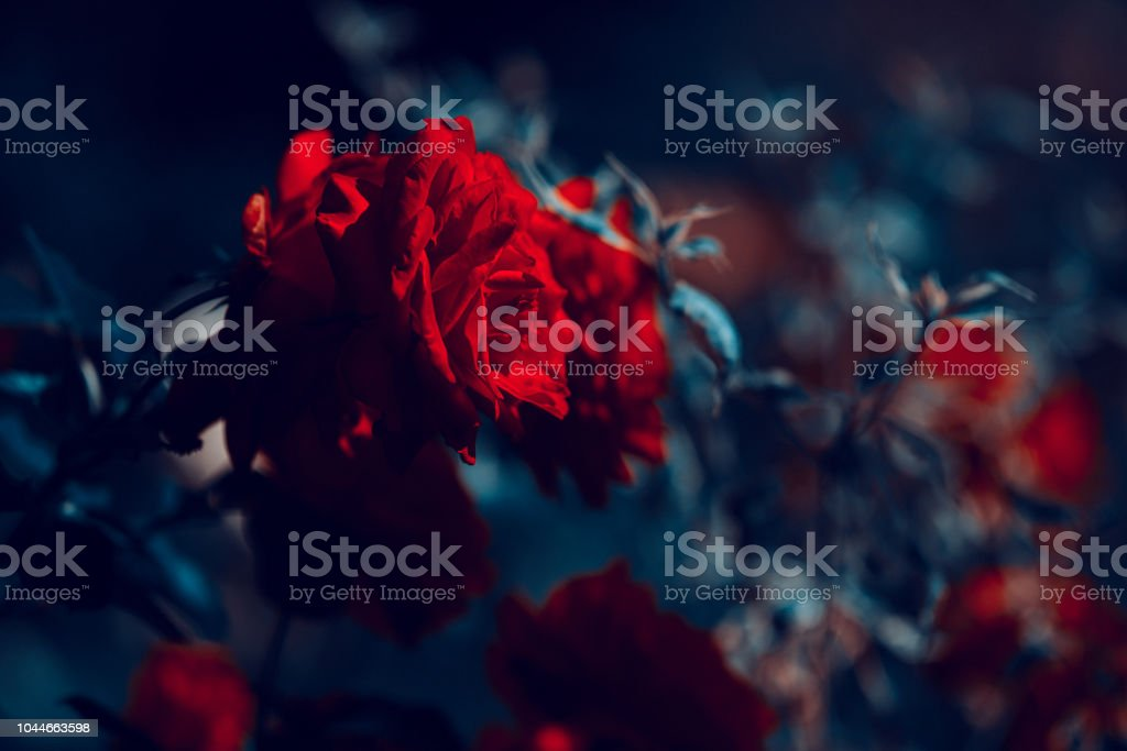 amazing rose in the garden stock photo