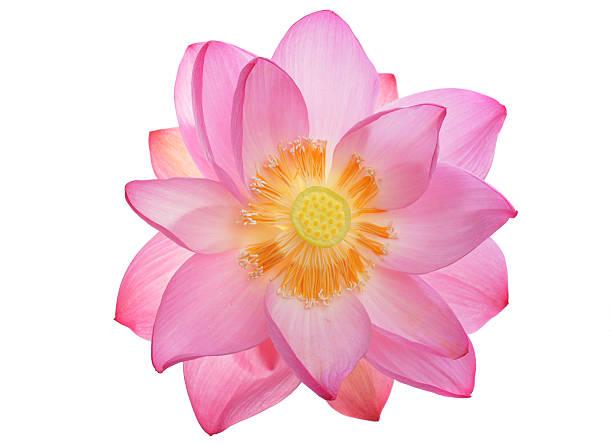 Fantastische sacred lotus von oben – Foto