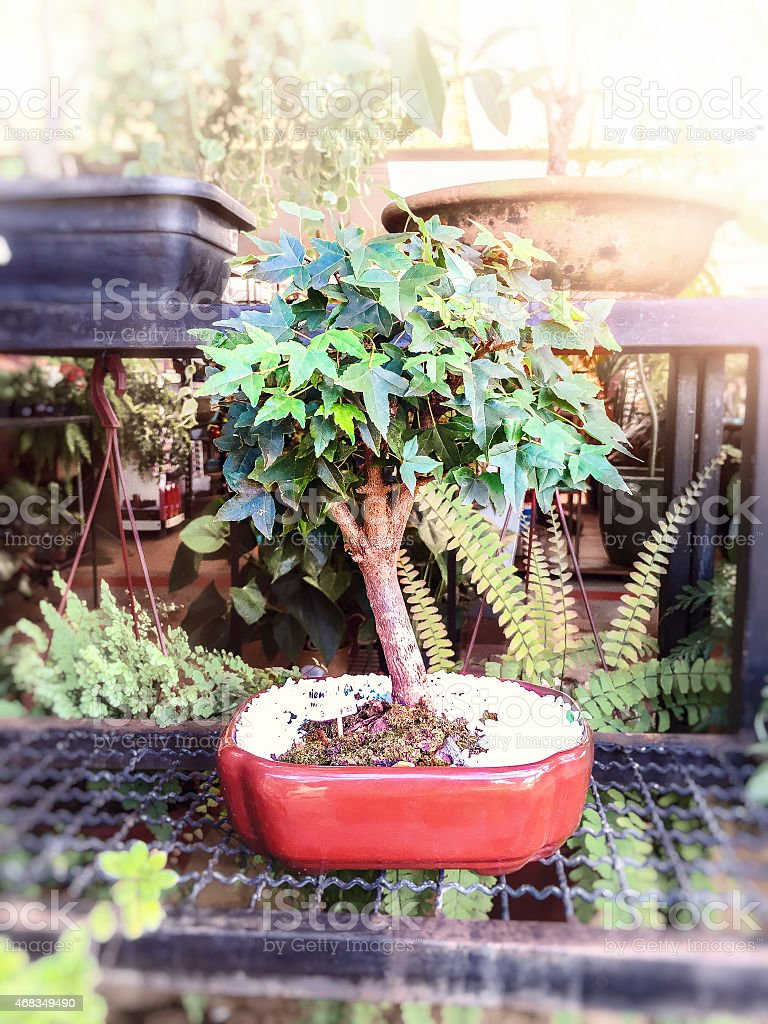 Amazing small fig tree on the indoor garden. royalty-free stock photo