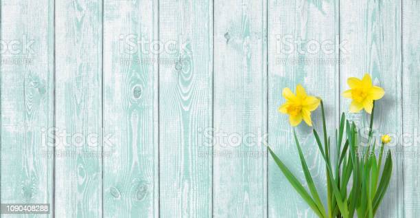 Amazing spring background with yellow daffodils flowers picture id1090408288?b=1&k=6&m=1090408288&s=612x612&h=s7q84cmp26granzcwo9h rilc2yjwwux2psjh8acuua=