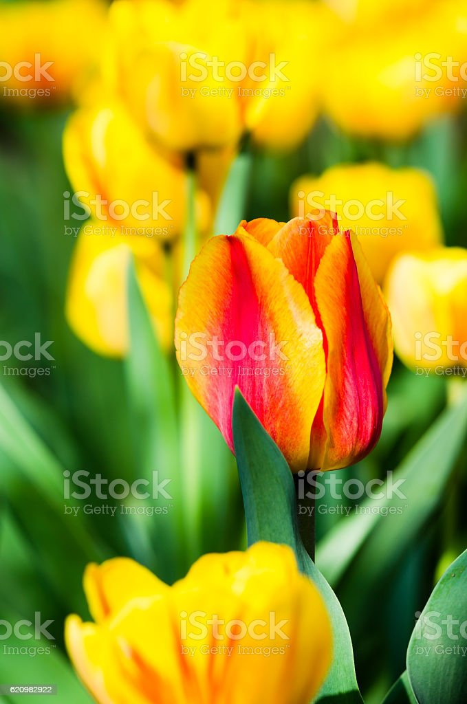 Amazing spring floral background, yellow tulip flowers foto royalty-free