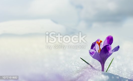 Amazing spring flower crocus in mountains in snow. View of magic blooming spring flowers crocus growing in mountains. Big panoramic photo of majestic spring flower crocus in snow