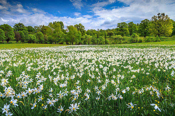 Amazing spring landscape and white daffodils flowers​​​ foto