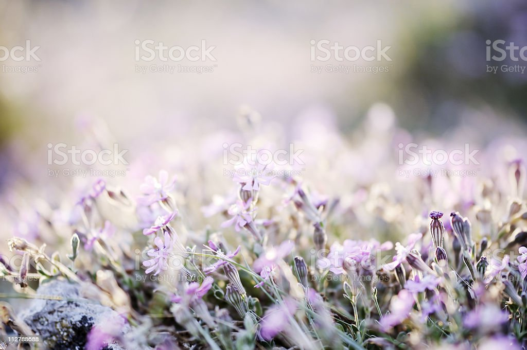 Amazing sunrise over a field of wild flowers royalty-free stock photo