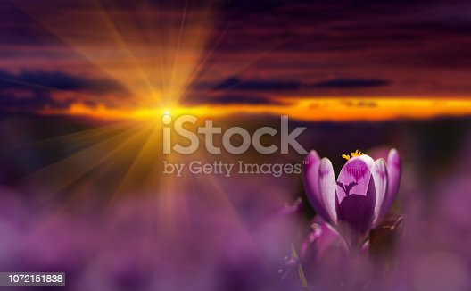 Amazing sunrise with spring flower crocus and colorful clouds. View of magic blooming spring flowers crocus growing in wildlife. Majestic sunbeams on spring flower crocus