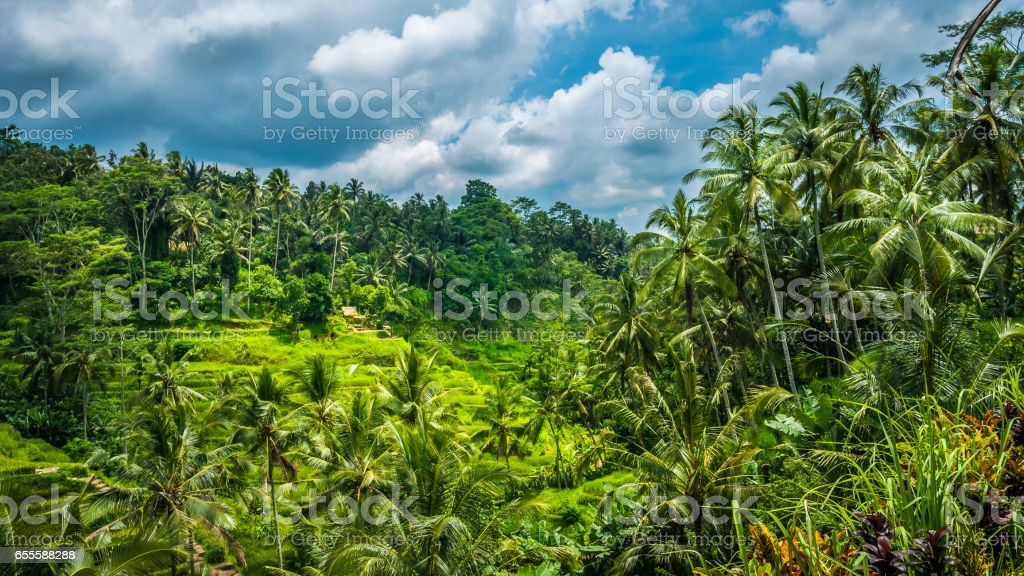 Amazing Tegalalang Rice Terrace Fields and some Palm Trees Around, Ubud, Bali, Indonesia stock photo