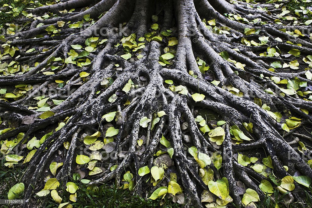 Amazing  Tree Roots stock photo