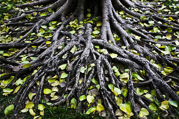 amazing  tree roots - root stock photos and pictures