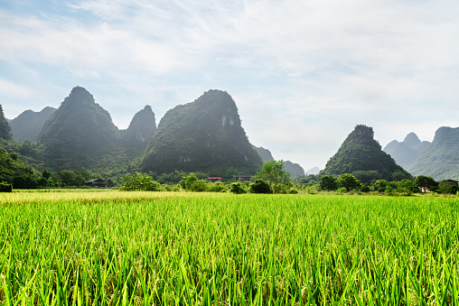 Amazing view of green rice field and scenic karst mountains