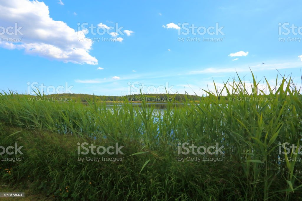 Amazing view of nature landscape. Lake water surface through green plants on front and blue sky with white clouds on background. stock photo