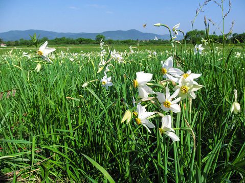 Amazing white wild daffodils on a meadow in the background of a mountain landscape
