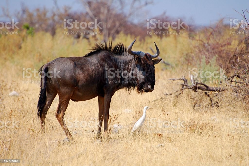Amazing wildebeest in the Etosha National Park stock photo