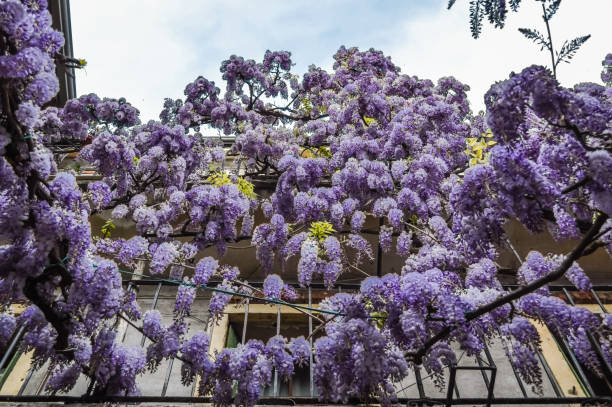 Amazing wisteria pergola in the streets of the old walled town of Soave, near Verona in Italy. Amazing wisteria portico in the streets of the old walled town of Soave, near Verona in Italy. southern charm stock pictures, royalty-free photos & images
