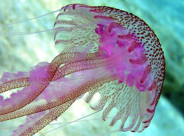 Amazingly Colorful Jellyfish stock photo