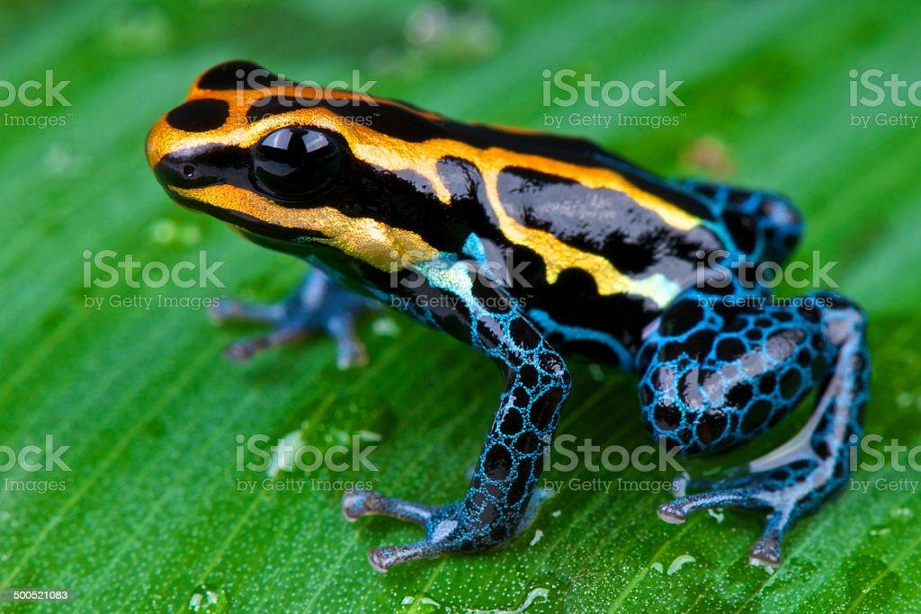 Amazon dart frog / Ranitomeya ventrimaculata stock photo