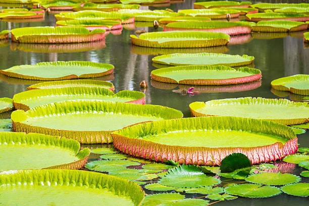 Amazon Giant Water Lily Amazon Giant Water Lily (Victoria Amazonica) victoria water lily stock pictures, royalty-free photos & images