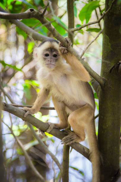 Amazon monkeys wildlife stock photo