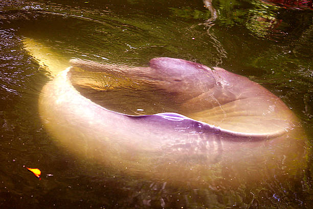 Amazon Pink Dolphin - Delfin Rosado El delfín rosado (Inia geoffrensis), también conocido como boto, bufeo, delfín del Amazonas y tonina, es una especie de cetáceo odontoceto de la familia Iniidae, la única del género Inia. Se conocen dos subespecies: Inia geoffrensis geoffrensis e Inia geoffrensis humboldtiana, las cuales se distribuyen por la cuenca del Amazonas, la cuenca alta del río Madeira en Bolivia y la cuenca del Orinoco, respectivamente. boto river dolphin stock pictures, royalty-free photos & images