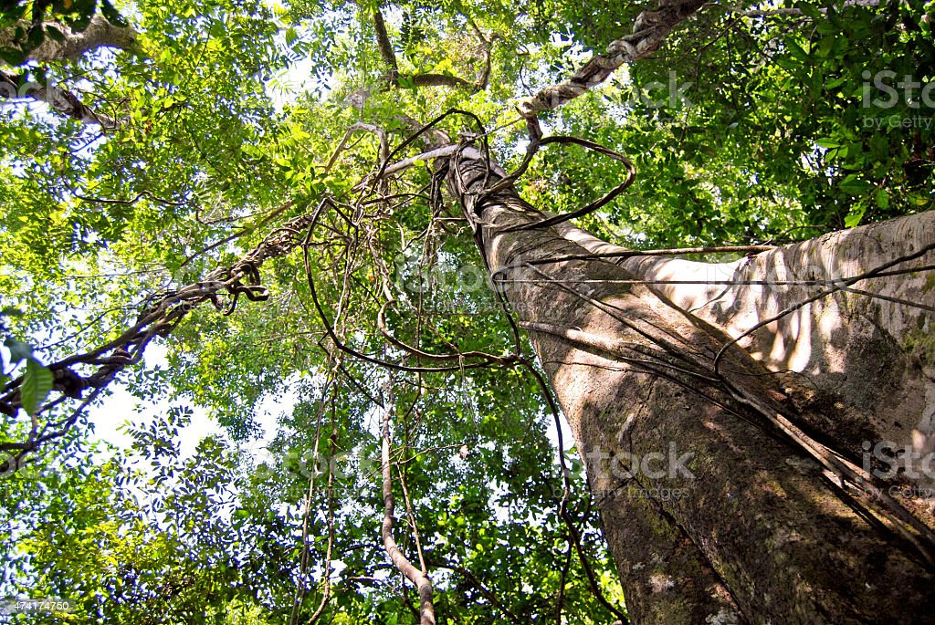 Amazon rainforest: Along the Amazon River near Manaus, Brazil stock photo