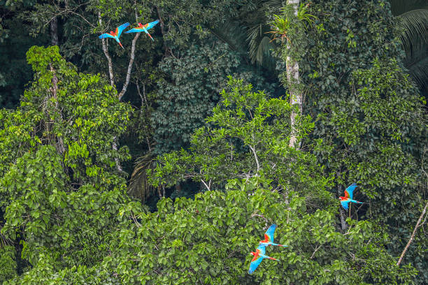 Amazon Rainforest Macaws in the Amazon Rainforest, state of Acre, Brazil. amazon region stock pictures, royalty-free photos & images