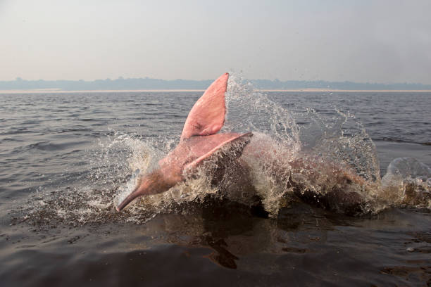 Amazon River Dolphin Amazon River Dolphin on Rio Negro boto river dolphin stock pictures, royalty-free photos & images