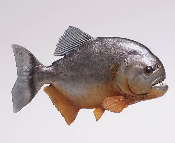 amazonka pirahna ryb stronie - pirania zdjęcia i obrazy z banku zdjęć