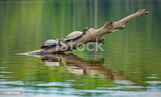 Two Amazon or Charapa river turtles (Podocnemis unifilis) on a branch inside Yasuni national park, Ecuador. This vulnerable species is also found in Venezuela, Colombia, Peru, Brazil and Bolivia.