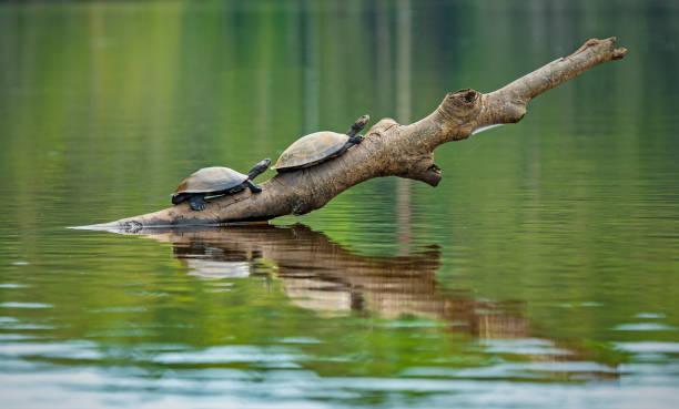 amazon river turtle, ecuador - заповедник дикой природы стоковые фото и изображения