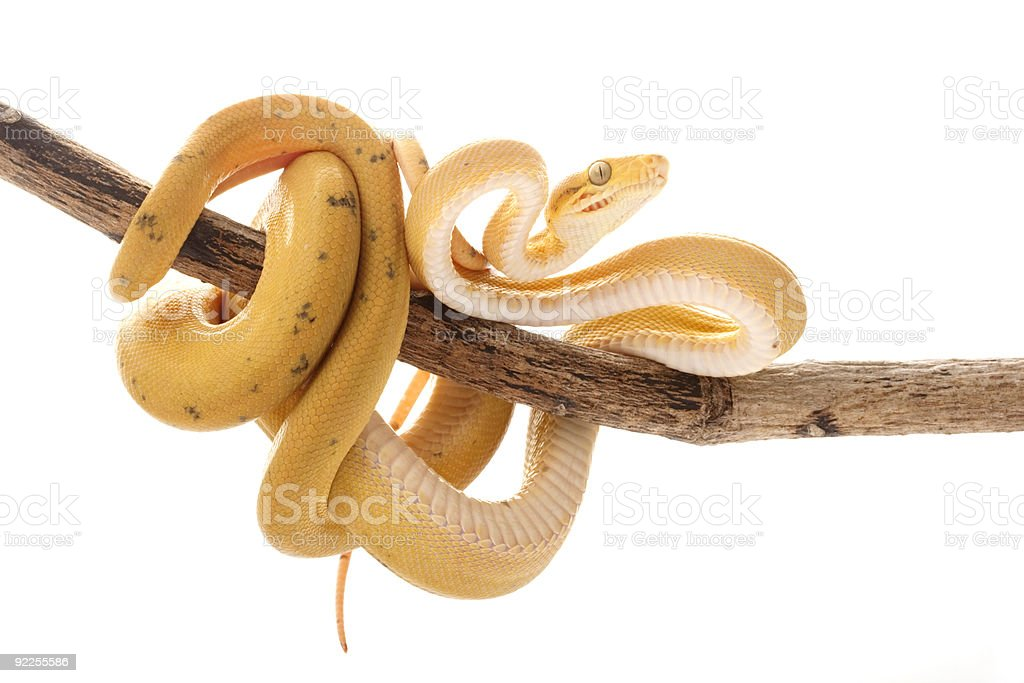 Amazon tree boa royalty-free stock photo