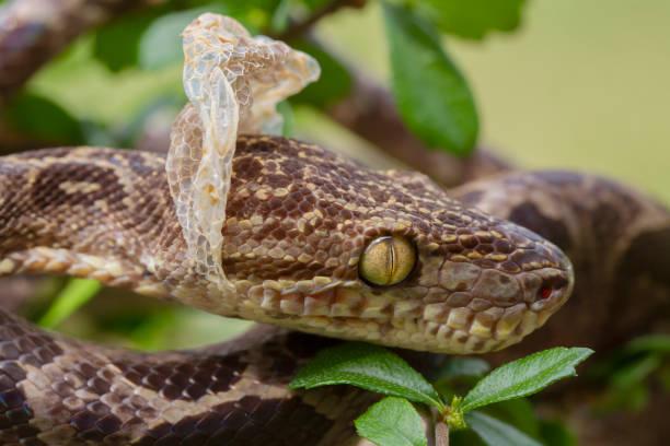 Amazon Tree Boa Schlange Vergießen seiner Haut – Foto