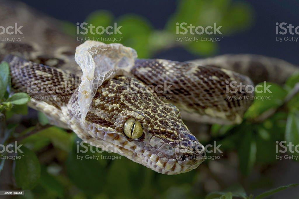 Amazon tree Boa Snake Shedding it's Skin stock photo