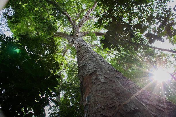 Amazon Tree Amazon trees amazon region stock pictures, royalty-free photos & images