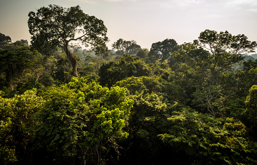 Amazon Tropical Rainforest Canopy, Early Morning