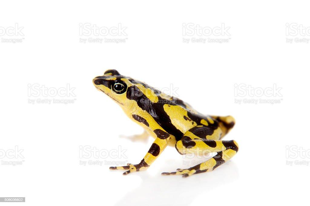 Amazons Harlequin Frog, Atelopus spumarius, on white stock photo
