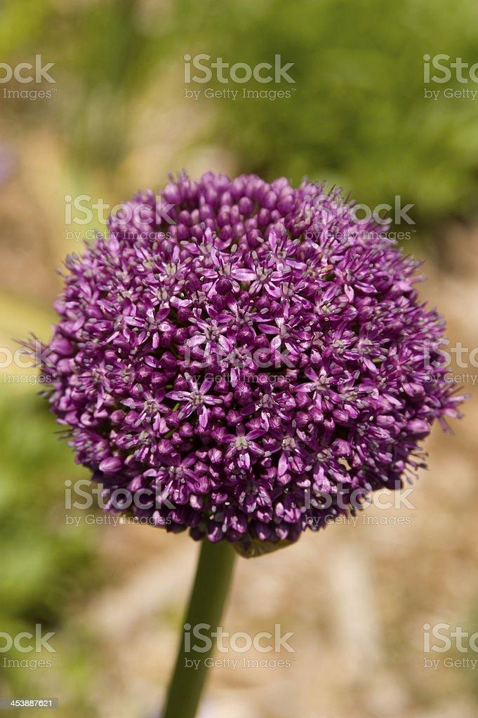 Ambassador Allium giganteum royalty-free stock photo
