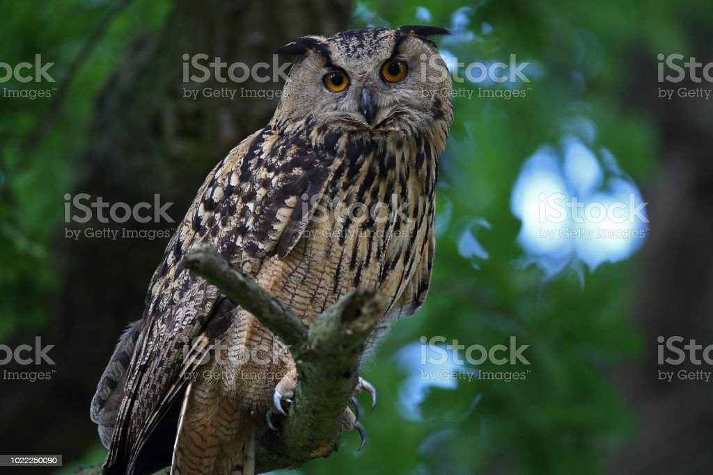 Amber eyes and feather ears. - Royalty-free Animal Stock Photo