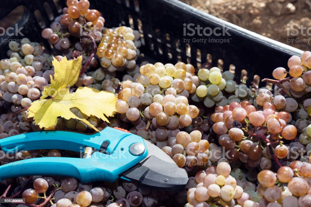 Amber Grapes Crate Secateurs Rkatsiteli stock photo