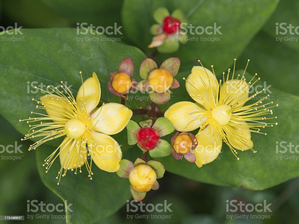 Amber, Johanniskraut (Hypericum Perforatum) royalty-free stock photo