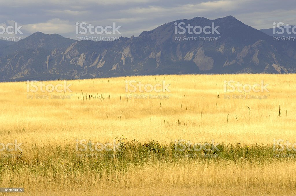 Amber Waves of Grain in a field near Boulder, CO. royalty-free stock photo