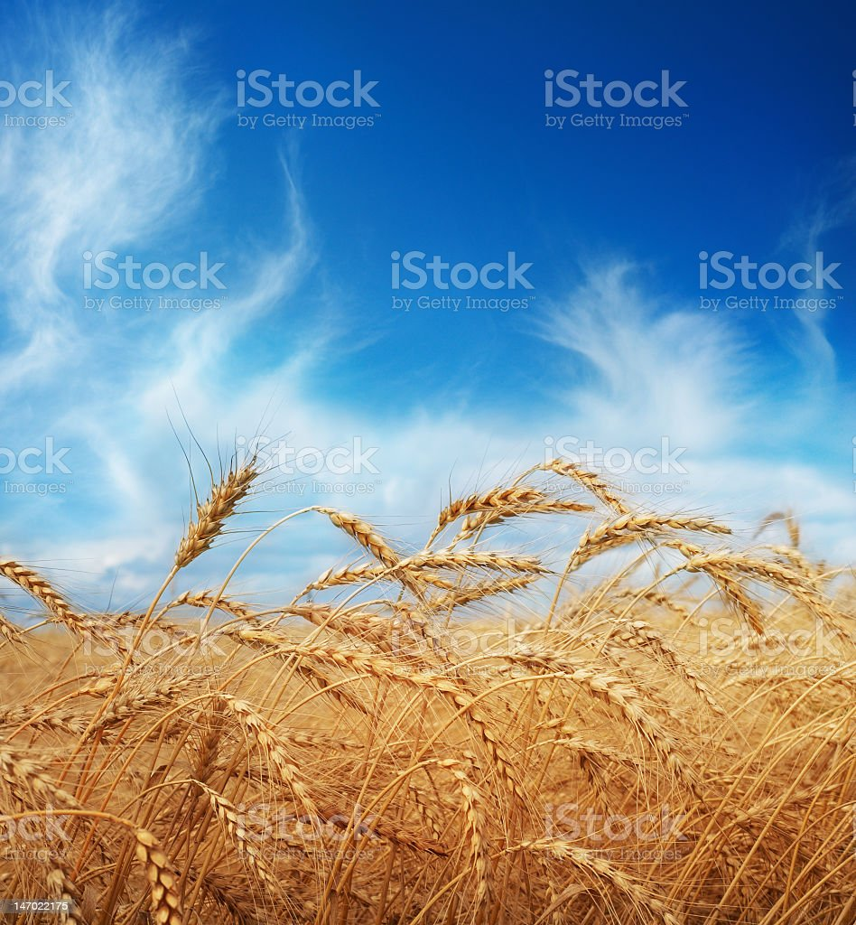Amber waves of grain in foreground against blue sky royalty-free stock photo