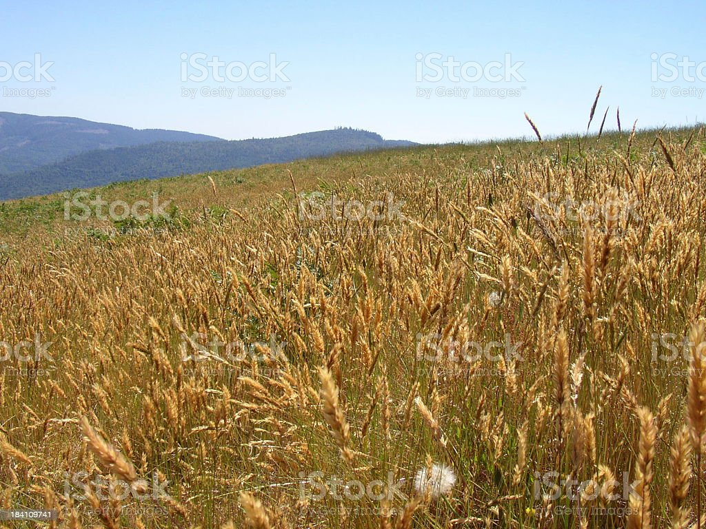 Amber Waves Of Grain 3 Stock Photo Download Image Now Istock