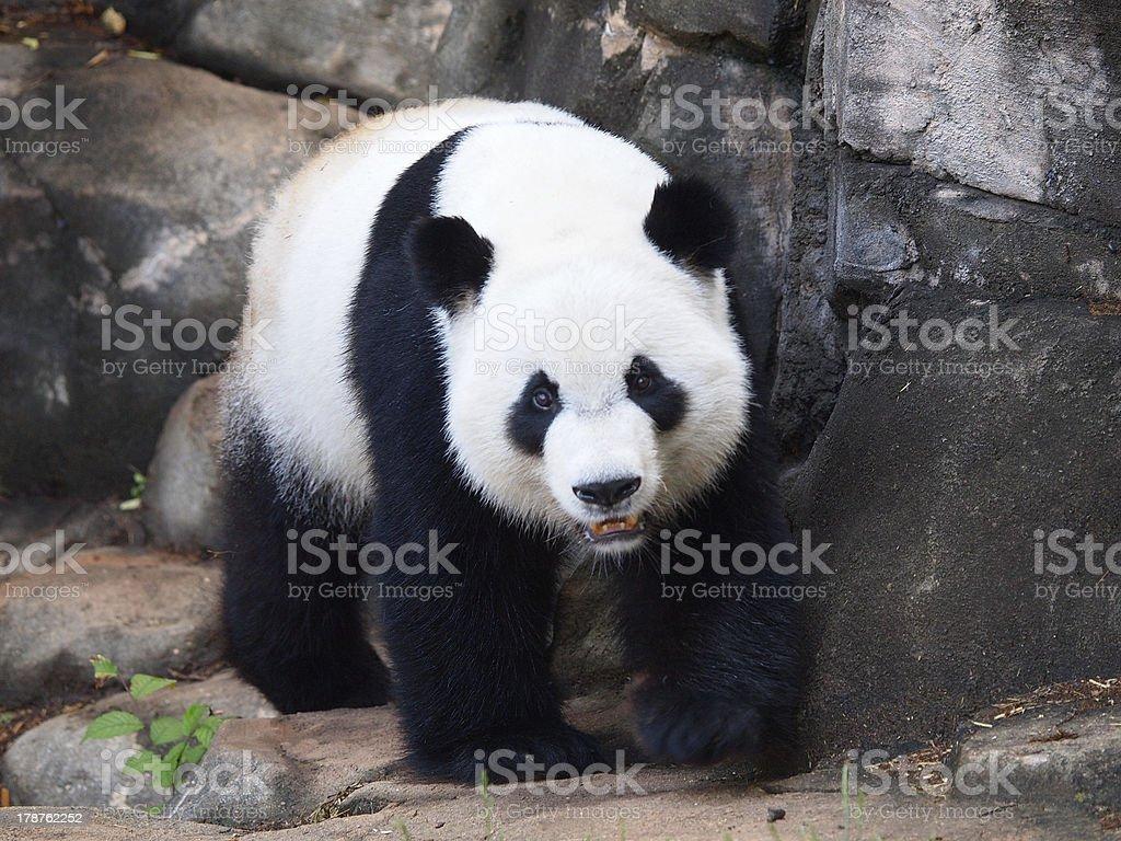 Ambling Panda stock photo