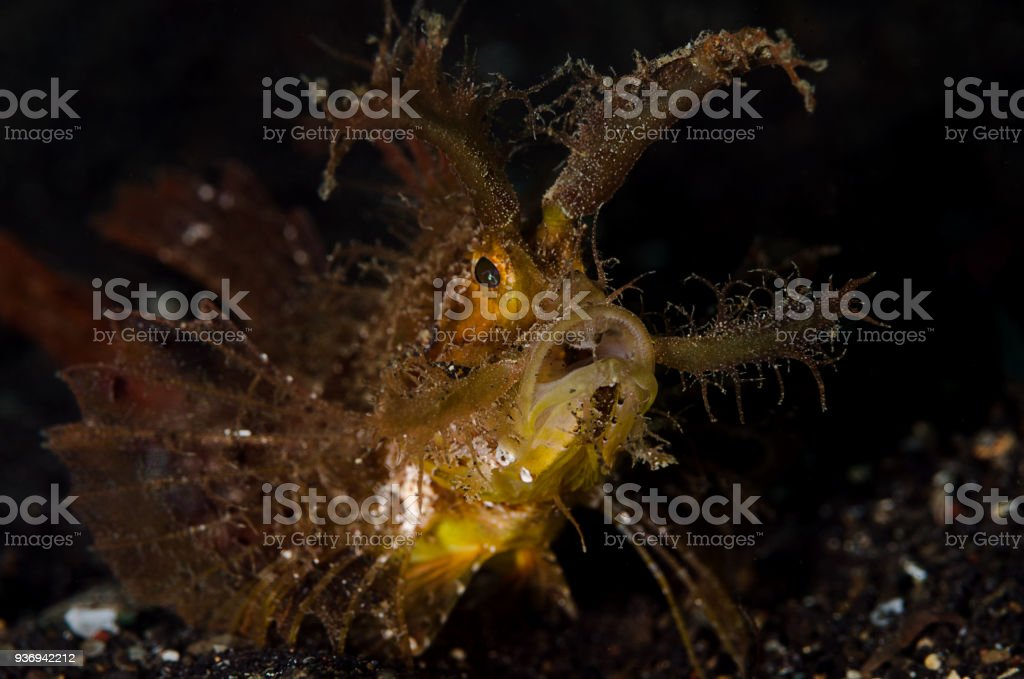 Ambon scorpionfish stock photo