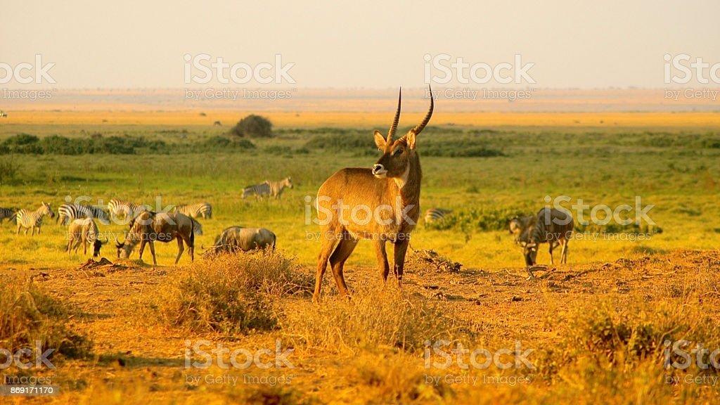 Amboseli stock photo