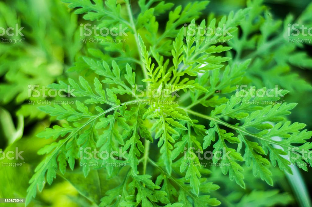 Ambrosia artemisiifolia – zdjęcie