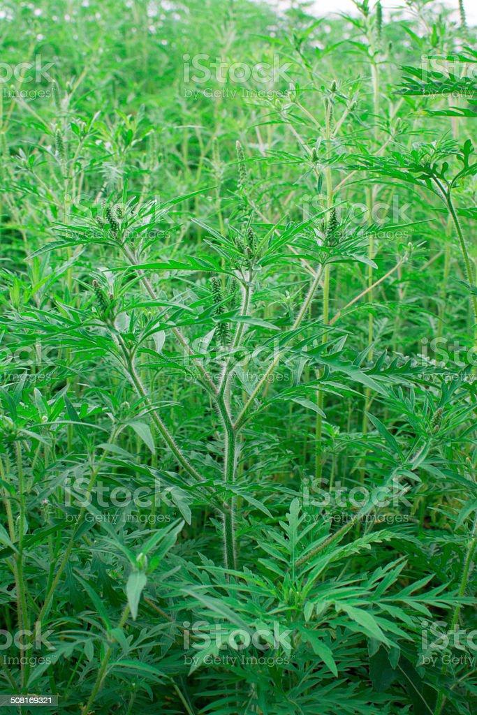 Ambrosia artimisiifolia stock photo