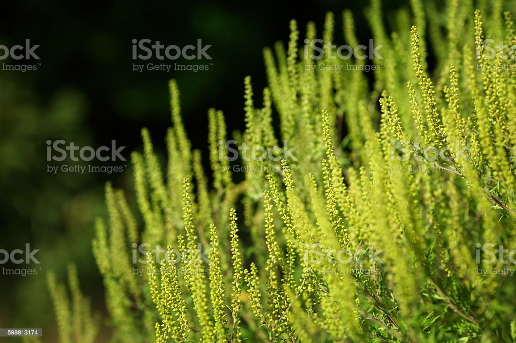 Ambrosia artimisiifolia-Ambrozja – zdjęcie